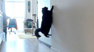 Impatient cat wants owner to open door, does nothing when he opens it