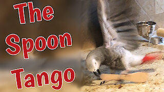 Talented parrot dances the Tango with a spoon