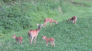 4 deer fawns in the yard!