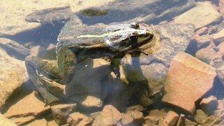 Frog river