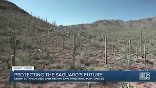Can saguaros survive in Valley? Increasing temps, drought pose threat