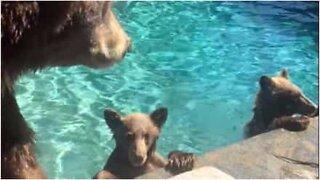 Bjørner funnet festende i familiens basseng