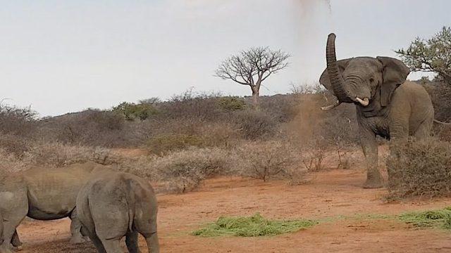 Enslig elefant jager vekk flokk med neshorn