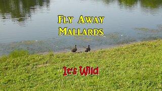 Female mallards keep getting chased by bantam ducks.