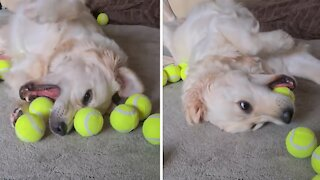 Sensory overload: Golden Retriever plays with lots of tennis balls