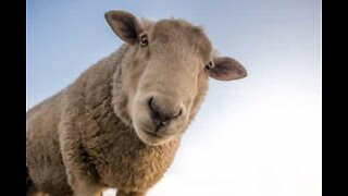 Angered sheep battles a shepherd dog