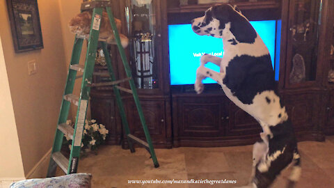 Bouncing Great Dane Has A Chat With Ladder Climbing Cat