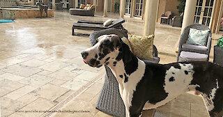 Harlequin Great Dane Watches Florida Sun Shower