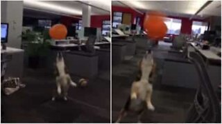 This corgi loves playing with balloons