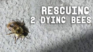 Rescuing 2 Dying Balcony Bees