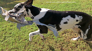 Great Dane does more tearing than delivering of newspaper