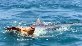 Video Shows Savage Shark Attack On Turtle