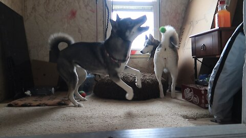 Husky desperately attempts to get friend to play with her