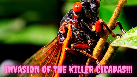Invasion Of The Killer Cicadas!!!
