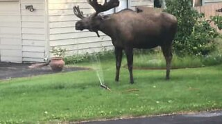 Moose cools off with sprinkler
