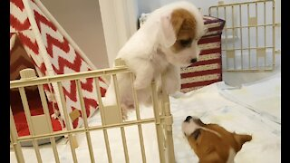 Jack Russell sees puppy escaping from enclosure, pushes her back inside