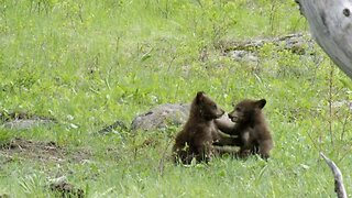 Adorable Tiny Bear Cubs Tussle And Play As Mama Bear Happily Watches On
