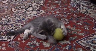 Kitten Playing The Tennis Ball