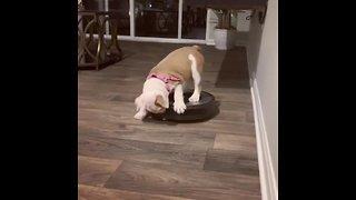 Bulldog Puppy Shows Robot Vacuum Who's The Boss