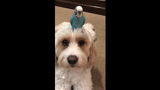 Parrot loves to chill out on top of dog's head