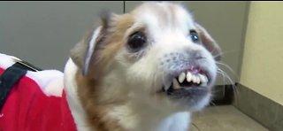Noseless dog seeking forever home