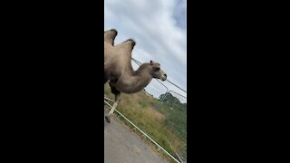 Camel Again!