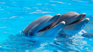 Dolphin babies information