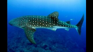 people swimming with whale shark