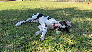 Great Dane Puppy Amuses Himself With a Tennis Ball