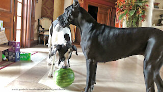 Funny Great Danes Playing With Watermelon Will Make You Laugh