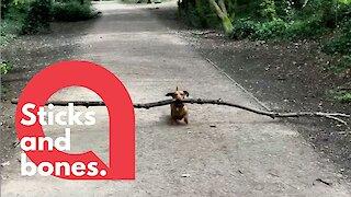 Tiny pet dachshund loves carrying around BIG STICKS