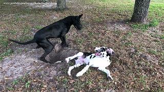 Great Dane rolls puppy around in the dirt