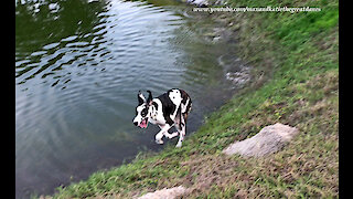 Playful Great Danes Loves To Race Around The Water's Edge