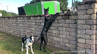 Great Danes peer over fence during security patrol