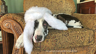 Cat Ignores Great Dane Wearing Easter Bunny Ears