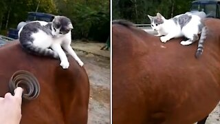 Cat finds that horse's back is the best spot for play
