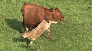 Calf with zoomies runs circles around his mother and the herd
