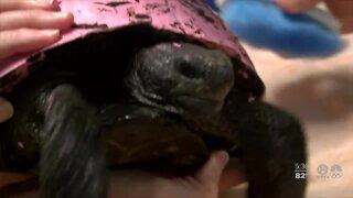 Stop painting gopher tortoises, Port St. Lucie veterinarian says
