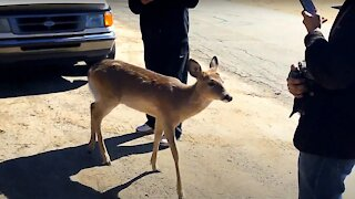 Incredibly fearless deer greets friendly humans