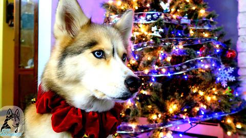 Twas The Night Before Christmas: Siberian Husky Version!