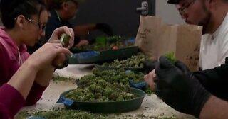 Marijuana business conference in Las Vegas this week