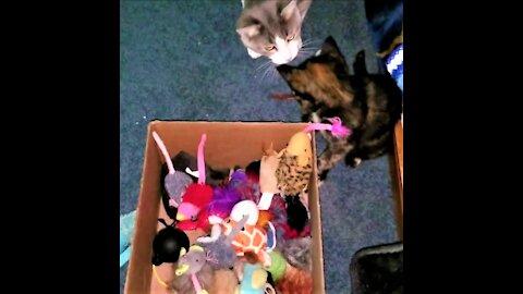 Ace, Ayumi & Ken having fun with toys & tunnels.🐈🐾おもちゃやトンネルで楽しんでいるエース、アユミ、ケン。