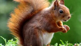 Woman uses sunflower seeds to attract red squirrel