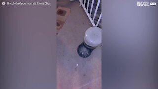 Cão se esforça para tentar beber água congelada do pote