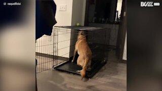 Questo cane sa come complicarsi la vita