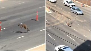 Kangaroo blocks highway in Australia