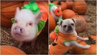 Mops och grisar är redo för Halloween
