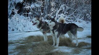 A Husky Dog Sledding with Pickup and Photos Service in Fairbanks, Alaska