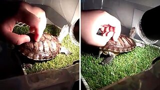 Shell I Scratch Your Back? This Tiny Turtle Loves Back Rubs