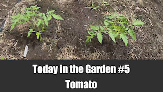 Today in the Garden - 5. Tomato Planting